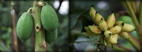 papaya_pisang