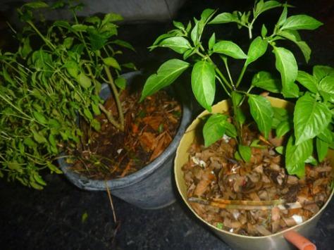 Foto ini diambil pada malam hari. Siang tadi terik, dan tanaman lupa disiram. Bisa lihat perbedaannya?