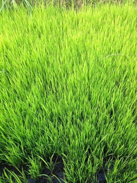 padi 64, dalam waktu tiga bulan benihnya sudah harus ditanam