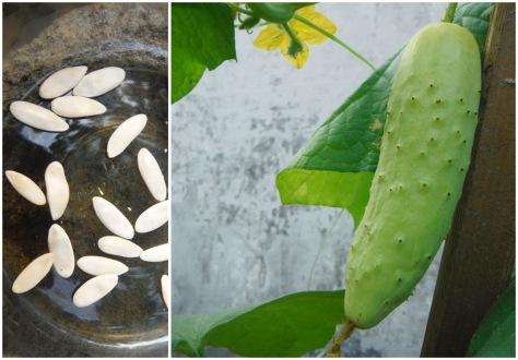 Benih-benih timun duri dan hasilnya. Foto: Bekabuluh.